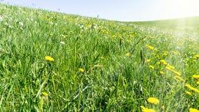 Primavera - prado verde con las flores, los rayos de sol y horizonte amarillos Fotografía de archivo libre de regalías