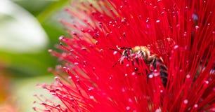 primavera Primer de la abeja de la miel que poliniza la flor roja brillante, callistemon Fotografía de archivo