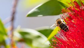 primavera Primer de la abeja de la miel que poliniza la flor roja brillante, callistemon Fotos de archivo