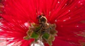 primavera Primer de la abeja de la miel que poliniza la flor roja brillante, callistemon Imagenes de archivo