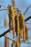 Primavera Primer de los amentos del aliso Imagen de archivo libre de regalías