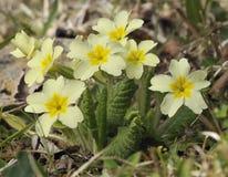 Primavera - Primula vulgaris fotos de archivo libres de regalías