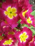 Primavera - Primula vulgaris imágenes de archivo libres de regalías