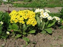 Primavera - Primula vulgaris Imagen de archivo libre de regalías