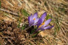 Primavera que da la bienvenida del azafrán púrpura Fotografía de archivo