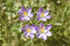 Primavera que despierta con el azafrán Imagen de archivo