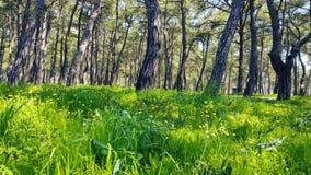 Primavera que encanta - bosques 04 del pino almacen de metraje de vídeo