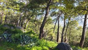 Primavera que encanta - bosques 01 del pino almacen de metraje de vídeo
