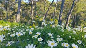 Primavera que encanta - margaritas y diente de león en el bosque 11 almacen de metraje de vídeo