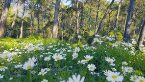 Primavera que encanta - margaritas y diente de león en el bosque 12 almacen de metraje de vídeo