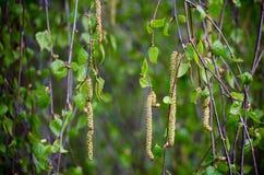 Primavera Ramita del abedul con amentos Inflorescencia del abedul floreciente en un día de primavera Fotos de archivo libres de regalías