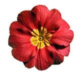 Primavera roja imagen de archivo