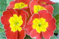 Primavera roja Fotos de archivo libres de regalías