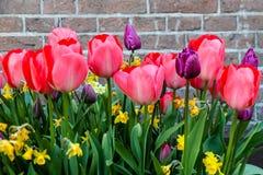Primavera rosa-rosso e tulipani porpora che fioriscono con i gambi verdi contro un fondo rustico del muro di mattoni a Amsterdam Immagini Stock Libere da Diritti