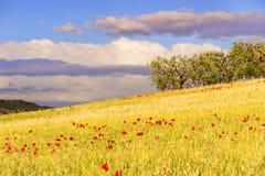 Primavera rural del paisaje Entre Apulia y Basilicata: arboleda verde oliva en el campo de maíz con las amapolas Italia Imagen de archivo