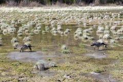 Primavera salvaje canadiense de los pájaros de los gansos que alimenta en el prado natural de Alberta Foothills imágenes de archivo libres de regalías
