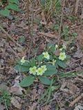 Primavera salvaje del arbolado (Primula vulgaris). Imagen de archivo libre de regalías
