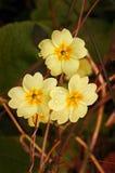 Primavera salvaje (Primula vulgaris) Foto de archivo libre de regalías