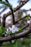primavera temprana de la flor de la manzana Imagen de archivo libre de regalías