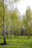 Primavera temprana en arboleda del abedul Foto de archivo