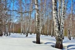 Primavera temprana en el birchwood Imagenes de archivo