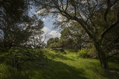 Primavera temprana en las colinas de California a través de los robles imágenes de archivo libres de regalías