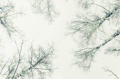 Primavera temprana en un bosque del abedul. imagen de la sepia Fotos de archivo