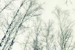 Primavera temprana en un bosque del abedul. imagen de la sepia Fotos de archivo libres de regalías