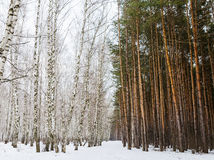 Primavera temprana en un bosque mezclado Foto de archivo