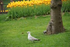 Primavera Tulip Flower Fotografie Stock