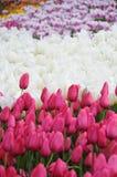 Primavera Tulip Flower Immagini Stock