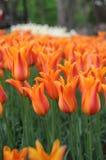 Primavera Tulip Flower Immagine Stock