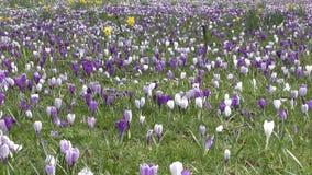 Primavera Un campo de flor hermoso almacen de metraje de vídeo