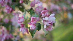 Primavera, un día soleado, un jardín flourishing flores Blanco-rosadas en un manzano a la hora del florecimiento metrajes