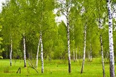 Primavera. Un grupo de árboles de abedul jovenes con las hojas frescas Foto de archivo
