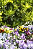 Primavera: una primavera púrpura y amarilla en foco selectivo en medio de un grupo de flores coloreadas mezcladas en bokeh imagen de archivo