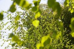 Primavera verde del abedul del follaje Imagen de archivo