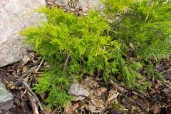 Primavera verde del enebro en jardines de rocalla Fotografía de archivo