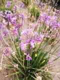 Primavera Violeta royaltyfri bild