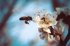 Primavera y abeja Foto de archivo libre de regalías