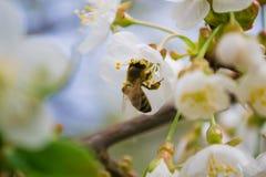 Primavera y abeja Imágenes de archivo libres de regalías