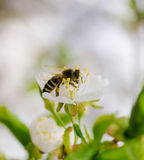 Primavera y abeja Fotografía de archivo libre de regalías