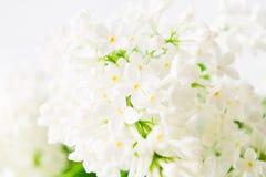 Primavera y concepto del verano con la lila fresca ligera blanca del aroma Fondo del concepto de la fragancia Primavera hermosa d fotografía de archivo libre de regalías