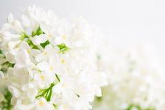Primavera y concepto del verano con la lila fresca ligera blanca del aroma Fondo del concepto de la fragancia Primavera hermosa d fotos de archivo libres de regalías
