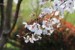 Primavera in Yanzhou Fotografie Stock Libere da Diritti