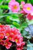 Primaveras Fotos de archivo