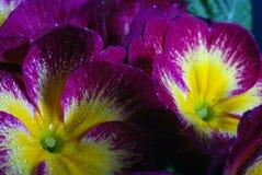 Primaveras Imagenes de archivo