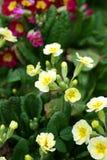 Primaveras. Foto de archivo libre de regalías