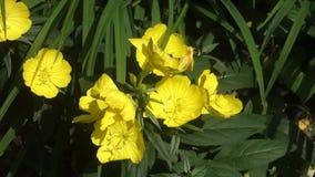 Primaveras amarillas metrajes