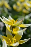 Primaveras 4 de la primavera Fotografía de archivo